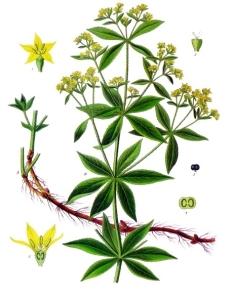 Rubia_tinctorum_-_Köhler–s_Medizinal-Pflanzen-123