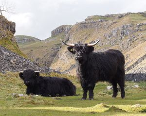 Highland_cattle_above_Malham_Cove