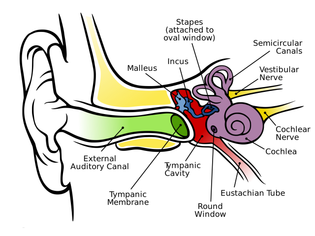 Anatomy_of_the_Human_Ear_en.svg.png